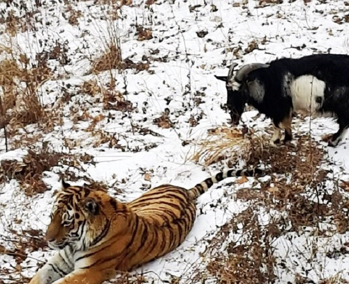 Photo Credit:http://offline.hu/kikapcs/2015/11/kecskevel-akartak-megetetni-a-tigrist-de-inkabb-osszekoltozott-a-ket-allat